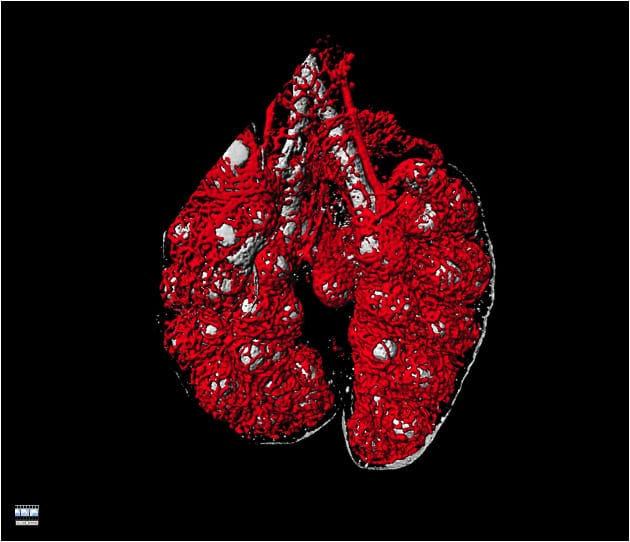 capillary blood supply of the early lung
