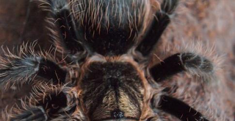 CHLA-Tarantula-web.jpg