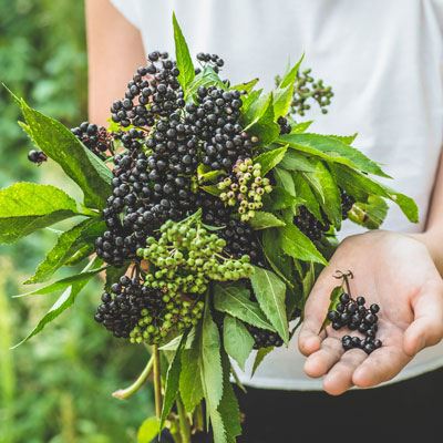 CHLA Blog - Home Remedies and the Flu - Elderberry